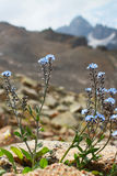 Forget-me-not  flower on a background of high mountains Royalty Free Stock Images