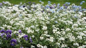 Forget-me-not flower, blue and white. pansy flower purple. stock photo