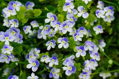 Forget me not flower close up flower bed royalty free stock photography