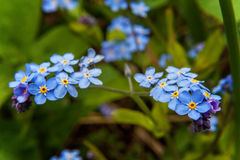 Forget-me-not in flower close up. Meadow plant background: blue little flowers - forget-me-not close up and green grass. Shallow DOF Stock Image