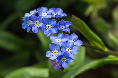 Forget-me-not flower. A close-upo picture of a foergte-met-not flower also known as myosotis stock photography