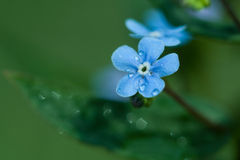Forget-me-not flower dew Royalty Free Stock Photography