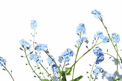 Forget Me Not Flower. S on white background Stock Images