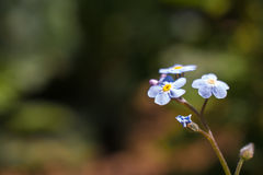Forget Me Not flower Stock Image