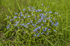 Forget me not flower in green grass Royalty Free Stock Photos