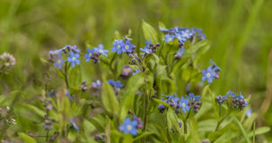 Forget me not flower in green grass Royalty Free Stock Image
