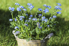Forget me not flower in grey wooden pot Stock Image