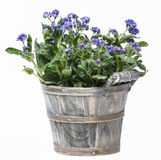 Forget me not flower in grey wooden pot Royalty Free Stock Photos