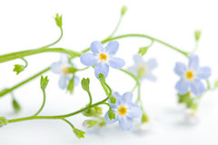 Forget me not flower isolated Royalty Free Stock Photos