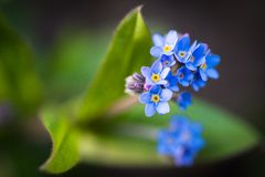 Forget-me-not flower Royalty Free Stock Photos