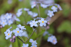 Forget-me-not flower macro Stock Images