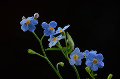 Forget me not flower Stock Photo
