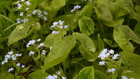 Forget-me-not flower in nature stock video