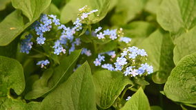Forget-me-not flower in nature stock video footage