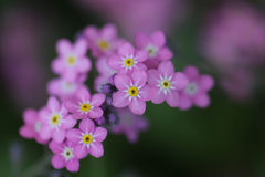 Forget-me-not flower. soft focus royalty free stock image