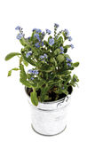 Forget-me-not in flowerpot Stock Photo