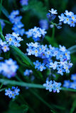 Forget me not flowers Stock Photos