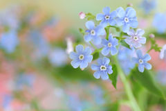 Forget-me-not flowers. Close up of forget-me-not flowers Stock Photos