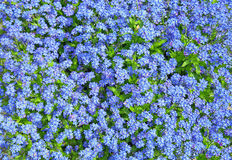 Forget me not flowers . Stock Photos