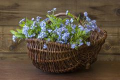 Forget-me-not flowers in the basket. On old wooden background Stock Photo
