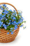 Forget-me-not flowers in a basket over white Stock Photos