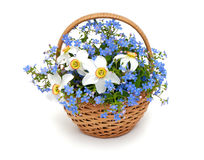 Forget-me-not flowers in a basket over white Royalty Free Stock Photo