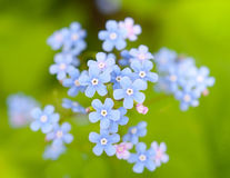 The forget me-not flowers Stock Photography