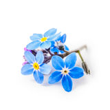 Forget me not flowers Royalty Free Stock Image