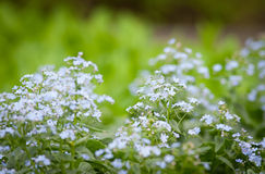 Forget-me-not flowers Stock Images