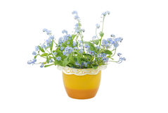 Forget-me-not Flowers. Blue forget-me-not flowers in the yellow pot isolated on white backgrownd Royalty Free Stock Image