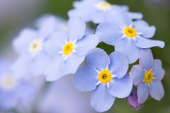 Forget me not flowers Stock Images