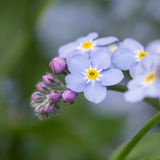 Forget me not flowers Royalty Free Stock Photography