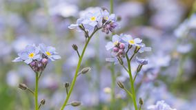 Forget me not flowers Royalty Free Stock Images