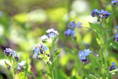 Forget-me-not flowers, close up. With green background Royalty Free Stock Images