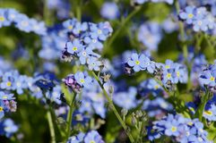 Forget-me-not flowers Royalty Free Stock Photography