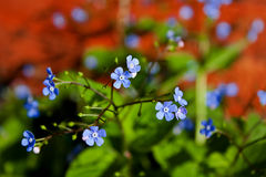 Forget me not flowers Stock Image