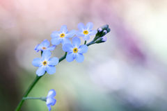 Forget me not flowers on colorful background Royalty Free Stock Photography