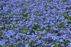 Forget-me-not flowers royalty free stock photos