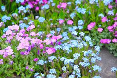 Forget me not flowers in the garden. Garden bed of colorful forget-me-nots. Spring background Stock Photos