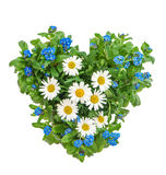 Forget me not flowers in heart shape. Forget me not and daisy flowers in heart shape on white background Royalty Free Stock Photos