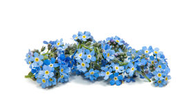 Forget-me-not flowers isolated Royalty Free Stock Photos