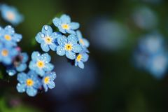 Forget me not flowers made with color filters. Sof Royalty Free Stock Photos
