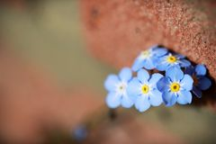 Forget me not flowers made with color filters. Sof Stock Photo