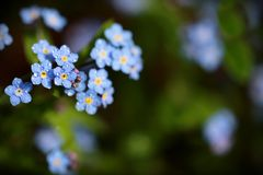 Forget me not flowers made with color filters. Sof. T spring summer retro vintage flower background royalty free stock images