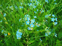 Forget me not  flowers. Stock Photos