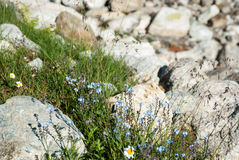Forget-me-not flowers in mountains Royalty Free Stock Photography