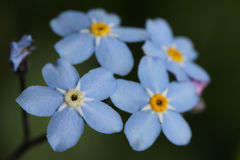 Forget-me-not flowers (Myosotis) Royalty Free Stock Photography