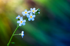 Forget me not flowers over blurred background. Forget me not flowers over green blurred background, macro photo with selective focus Royalty Free Stock Image