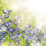 Forget Me Not Flowers Over Bright Background Royalty Free Stock Photography