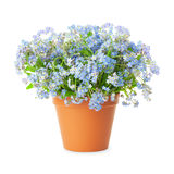 Forget-me-not flowers in pot  on white background Royalty Free Stock Photo